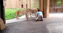 อย่างฮา! นี่คือวิธีการเล่นกับสิงโตที่บ้ามาก!