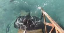 ทึ่ง! ให้อาหารปลากระเบน ดูแล้วจะรู้ว่าปลากระเบนฉลาดมาก