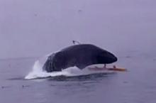 เกือบไม่รอด!! วาฬว่ายกระโจนทับเรือคายักกลางทะเล