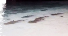 ฮือฮาพบกลุ่มฉลามดำ ที่เกาะห้อง จ.กระบี่