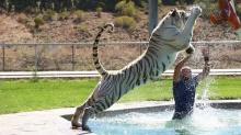 สิ้นลายเสือ!! เชื่องขนาดนี้ยังกับแมวที่บ้านเลย