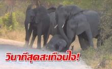 สะเทือนใจ!! วินาทีโขลงช้างพยายามชาวยชีวิตลูกตัวน้อย หลังโดนรถขับพุ่งมาชนอย่างจัง! (คลิป)