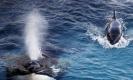 ตะลึงพรึงเพริด!! วาฬเพชฌฆาตออกเสียงเลียนแบบมนุษย์ได้ ทั้งฮัลโหล..บ๊ายบาย (คลิป)