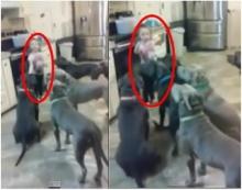 หนูน้อย 4 ขวบกำราบสุนัขพิตบูลซึ่งดุร้ายมากๆทั้ง 6 ตัวได้อย่างไร?