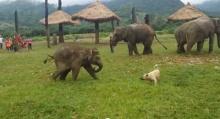 น่ารัก! ช้างน้อยวิ่งเล่นกับเจ้าหมา ใครเห็นเป็นต้องยิ้ม