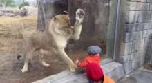 งงเลย! เจ้าสิงโตตัวนี้อยากเล่นหรือ อยากจะกินเด็กน้อยกันแน่?
