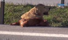 คลิปน้ำตาร่วง! โกลเด้น รีทรีฟเวอร์ ช่วยเพื่อนสุนัข ถูกรถชนกลางถนน