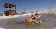 น่าเอ็นดู... เมื่อเสือโคร่งได้ลงน้ำเป็นครั้งแรกในชีวิต ทำตัวอย่างกับแมว!