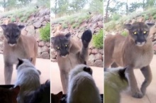 เมื่อแมวตัวเล็กต้องเผชิญหน้าสิงโตภูเขาตัวใหญ่ที่โผล่มาป้วนเปี้ยนหน้าบ้าน!!