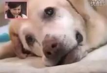 น้ำตาจะไหล สุนัขตัวนี้แม้ป่วยใกล้ตาย แต่ขอปกป้องเจ้านายจนนาทีสุดท้าย