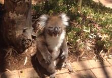 หมีโคอาล่า ถูกเพื่อนถีบตกต้นไม้ร้องไห้เป็นเด็กเลย!!