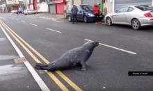 """""""แมวน้ำ""""แสนรู้! """"แมวน้ำ"""" ข้ามถนนมาขอกินอาหารที่ร้านทุกวัน"""