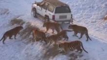 ขนลุก!! คนเกือบโดนเสือลุมจะกินทั้งฝูง(ชมคลิป)