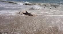 ตะลึง! ฉลามหลายร้อยตัวไล่กินฝูงปลาถึงชายหาด
