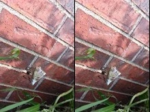 เคยเห็นไหม? แมงมุมชักใยพันเหยื่อ
