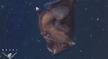 หาดูยาก! ปลาปีศาจดำ ตัวเป็นๆ โผล่จากทะเลลึก