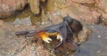 เคยเห็นมั้ย? หมีกสายโหด กระโดดพุ่งจากน้ำเพื่อกินปู!