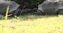 ลำดับการผสมพันธุ์ของเต่า