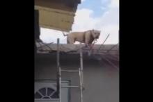 ไม่ธรรมดา!!! น้องหมาโชว์ปีนถอยหลังลงบันไดกว่า 2 เมตร!!!