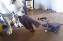 น่ารักๆ น้องหมาตัวจิ๋วเล่นชักคะเย่อกับพี่หมาตัวเบิ้ม