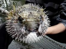 มาดูการพองตัวของปลาปักเป้า 2 พันธุ์ของไทยกัน