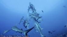 ช็อตระทึก!! ฉลามล่าด้วยเทคนิคปิระมิดหมุน แย่งเหยื่อสวยงามมาก