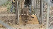 ภารกิจปล่อย สิงโต คืนสู่ป่าหลังจากถูกล่ามมา 20 ปี!!