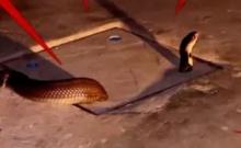 เลื้อยพิสดาร! งูเห่ามุดท่อระบายน้ำ หัวโผล่อีกรูไปต่อไม่ได้ แจ้งกู้ภัยช่วยจับ