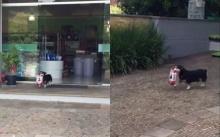 หมาน้อยสุดฉลาด!! ออกจากบ้านมาช้อปปิ้งแทนเจ้านายแทบทุกวัน! (คลิป)