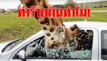 ยีราฟสุดโชคร้าย ยื่นหัวเล่นกับนักท่องเที่ยว ถูกปิดหน้าต่างรถไล่-กระจกแตกใส่หน้า (คลิป)