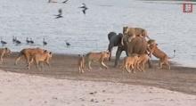 ช้างหนุ่มสู้ตายไม่ยอมตกเป็นอาหารของฝูงสิงโต 14 ตัว