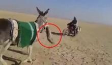 ลา ในอิรัก จู่โจมปลิดชีพสุนัขจิ้งจอก กลางทะเลทราย