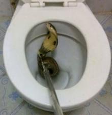 ช็อก! งูเห่าเมตรครึ่ง โผล่ชูคอแผ่แม่เบี้ยในชักโครก