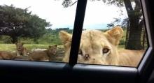 เกือบหัวใจวาย! เมื่อสิงโตเดินมาเปิดประตูรถเองได้