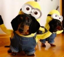 ชมคลิปสุดฮา!! เมื่อให้ น้องหมา ใส่ชุด มินเนี่ยน ยอดวิวเกือบล้านน่ารักเว่อร์