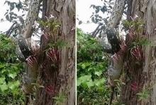 สยองเลยนะครัช!!งูเหลือมเขมือบ พอสซั่ม ทั้งตัวบนต้นไม้!!