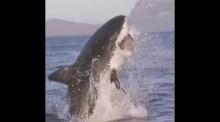 วินาทีฉลามเข้ากินเหยื่อ..สุดยอดมาก