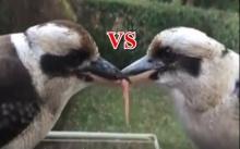 เปิดคลิปสุดลั่น!!! ศึกชิงอาหาร!!! นก VS นก มันยอมกันไม่ได้หรอกนะ!!!