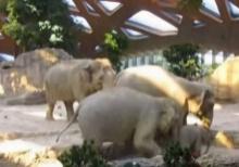 น่ารัก ช้างตัวโตช่วยลูกช้างหกล้ม