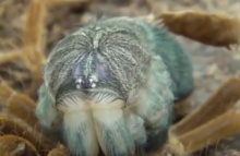 ตะลึง!! วินาที แมงมุมทารันทูล่าลอกคราบ แบบสปีด
