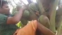 ทำไปได้!!โชว์ปีนต้นมะพร้าวสุดหวาดเสียว ดูเสร็จมีเงิบ!