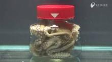 เชื่อมั้ย? ปลาหมึกที่อยู่ในขวดแก้วตัวนี้ เปิดฝาขวดได้!