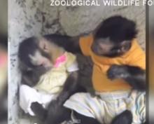 มิตรภาพดี๊ดี! เมื่อลิงปลอบเพื่อนสาวกำลังเศร้า
