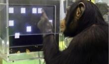 """เชื่อหรือไม่? ความทรงจำของ """"ลิงชิมแปนซี"""" ดีกว่ามนุษย์เยอะ!!"""