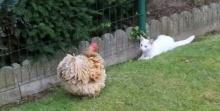 น่ารักอะ! แมวชวนไก่เล่น แต่ไก่ไม่สนใจ!