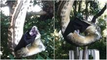 ถ่ายได้จะจะ งูหลามยักษ์ห้อยต้นไม้ เขมือบค้างคาวเบ้อเร่อ