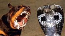 เปิดศึก!! จงอางกัด กับ หมา พิทบูล
