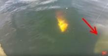 ตกปลาอยู่ดีๆ แขกไม่ได้รับเชิญก็โผล่มา! ตัวอย่างใหญ่!!
