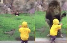 ใจหาย!!สิงโตเล่นทีเผลอ กระโจนใส่เด็กน้อย โชคดีมีสิ่งนี้ช่วยไว้(ชมคลิป)