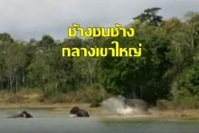 คลิปหาดูยาก!! ช้างชนช้าง กลางเขาใหญ่ สู้กันในอ่างเก็บน้ำสายศร